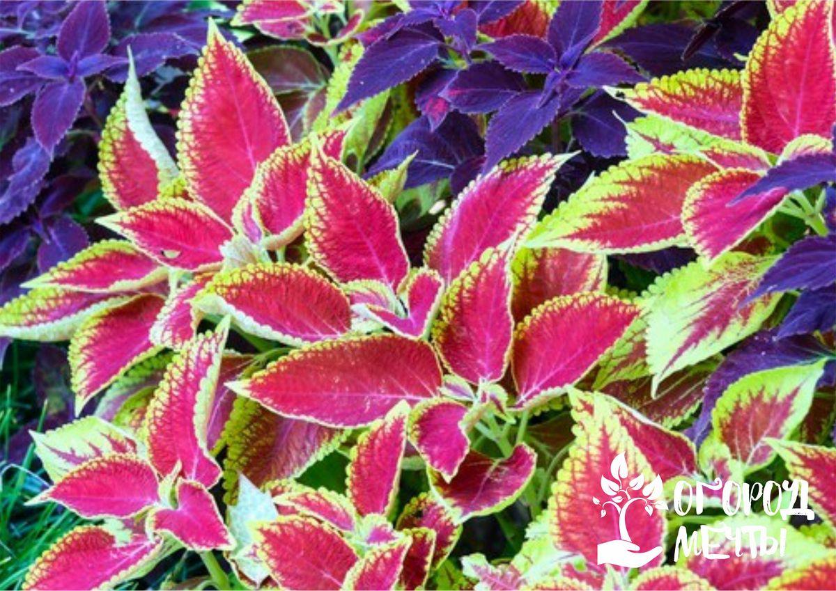 Колеус или декоративная крапива - идеальный фон для садовой клумбы