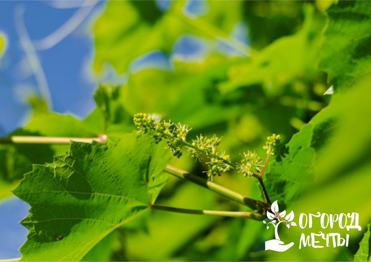 Уход за виноградником в июле