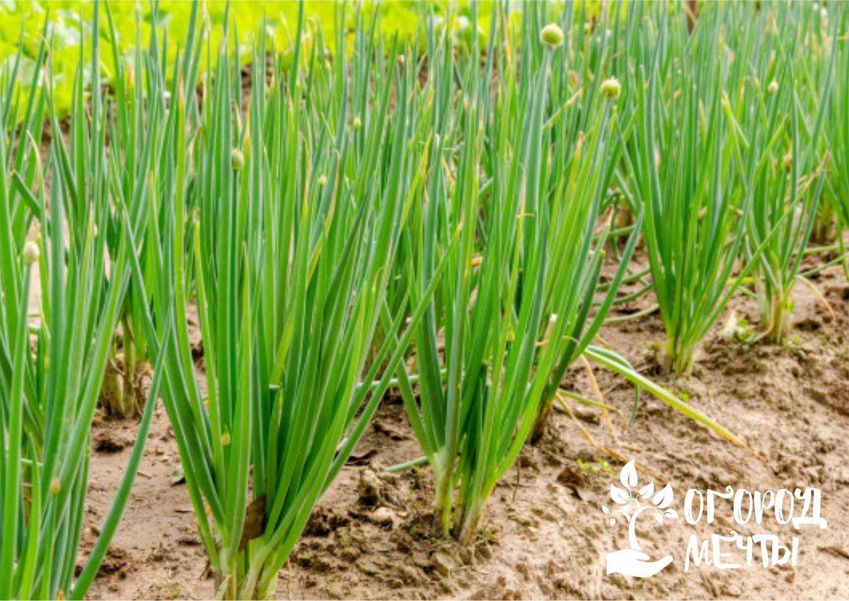 Лук-батун: лучшие разновидности пряной огородной культуры