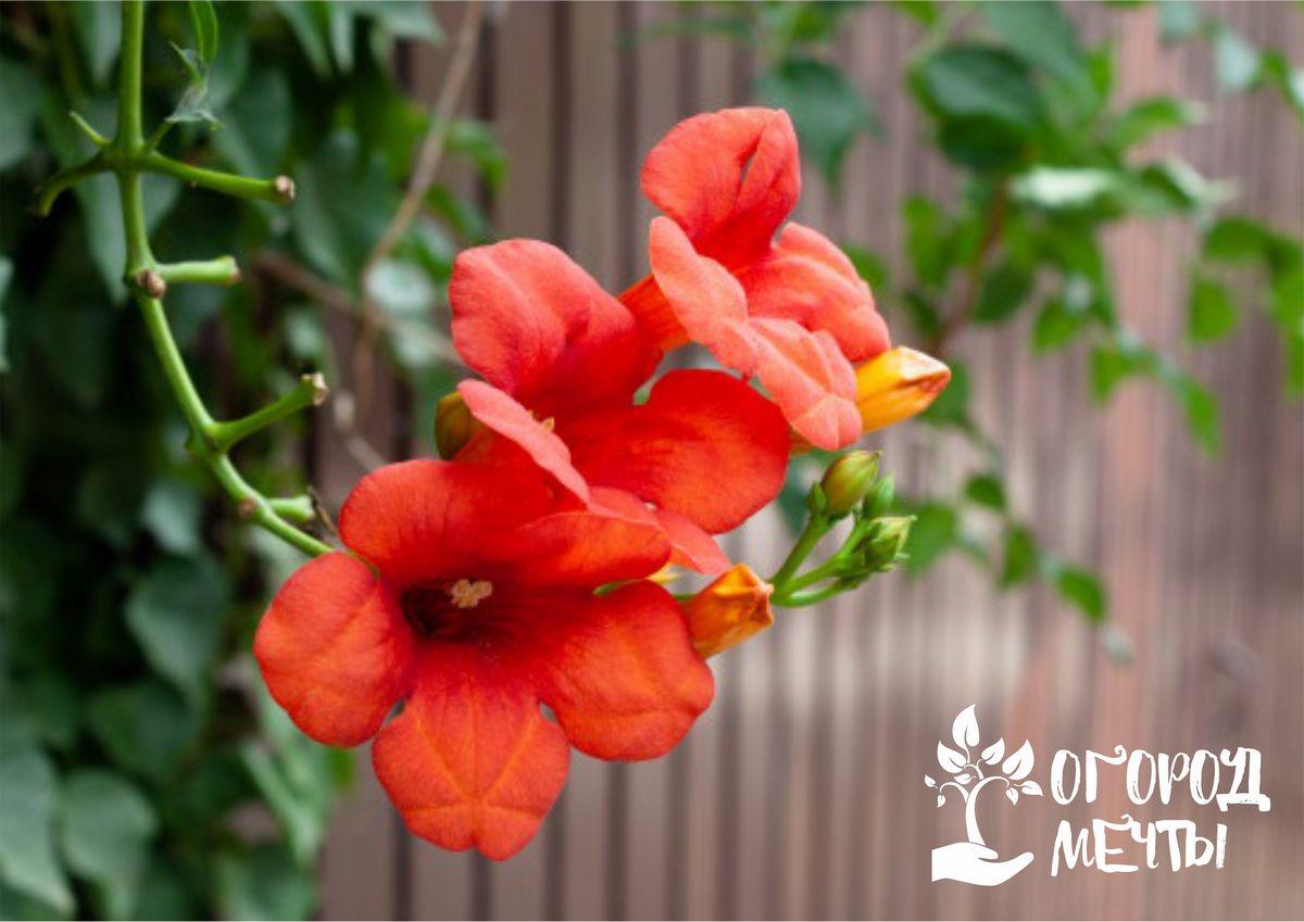 Семь самых красивых сортов кампсиса с шикарным ярким цветением