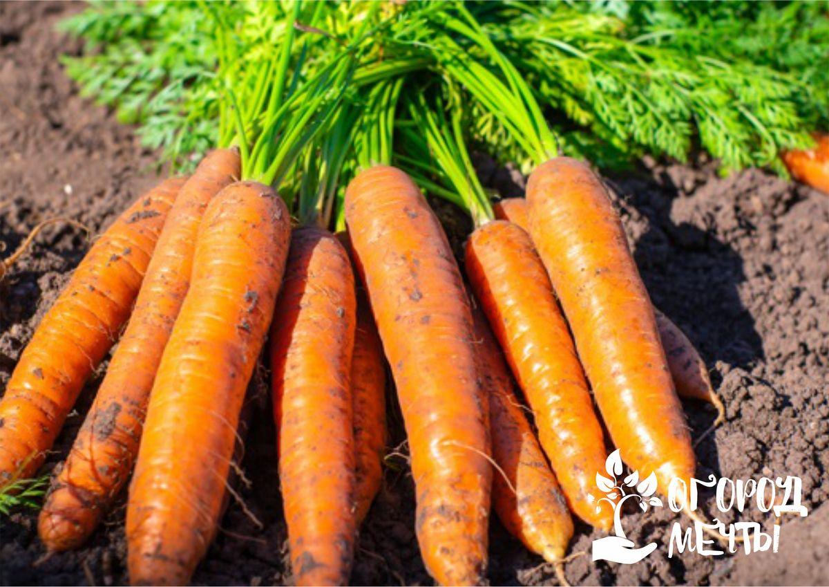Морковь горчит: почему появляется горечь в корнеплоде и как этого избежать