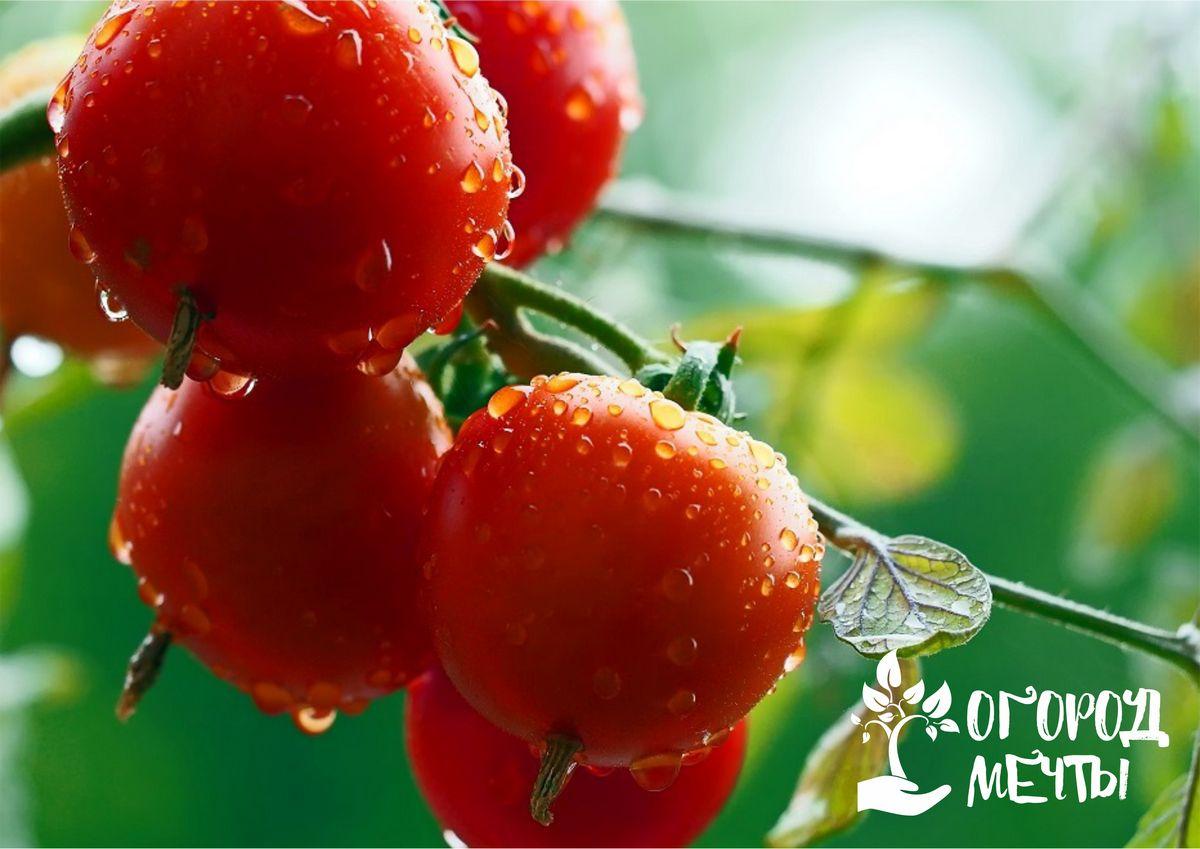 Это действие стимулирует наливание остальных незрелых плодов на томатном кусте