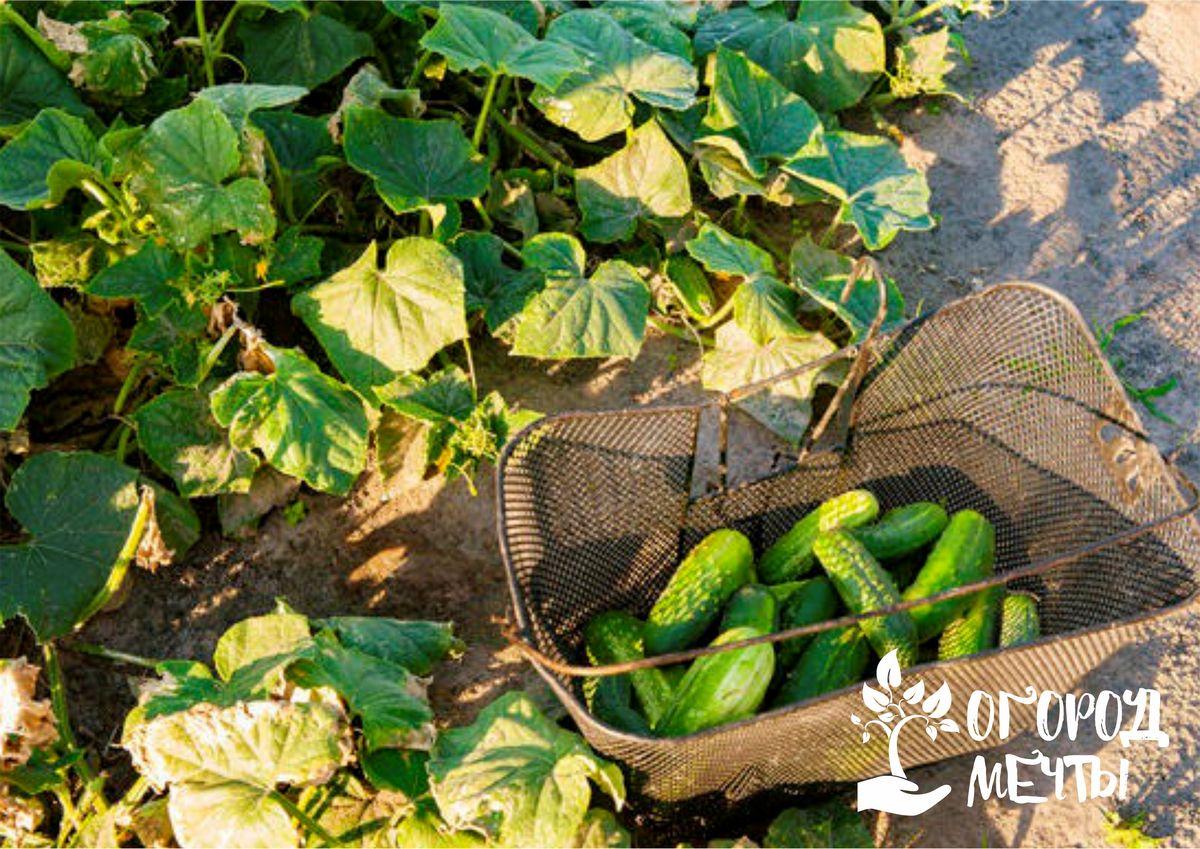 Семь сортов урожайных и вкусных пучковых огурчиков