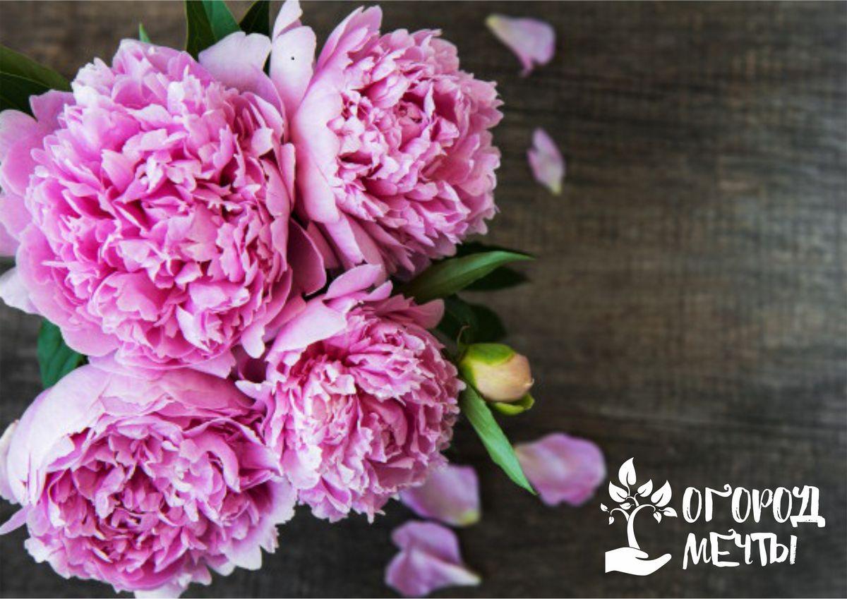 Уход за прекрасными пионами в июле: что нужно знать каждому цветоводу