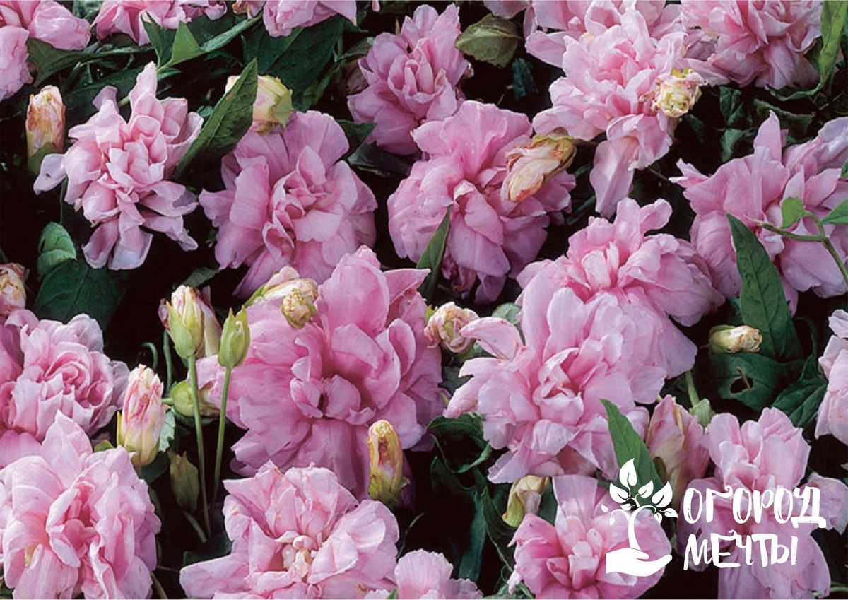 Махровая калистегия: как вырастить прекрасную пышноцветущую лиану на дачном участке