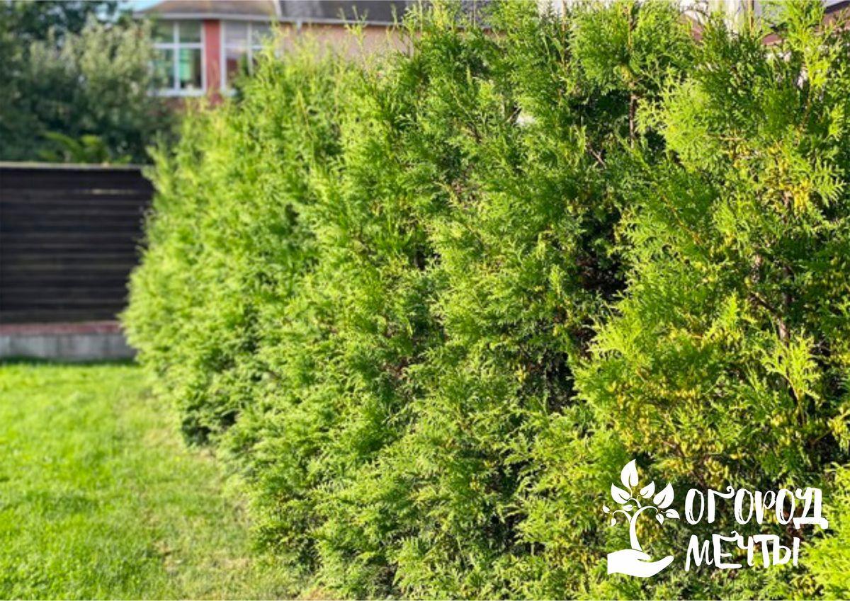 Зеленая изгородь из туи: как сформировать красивое живое ограждение на даче