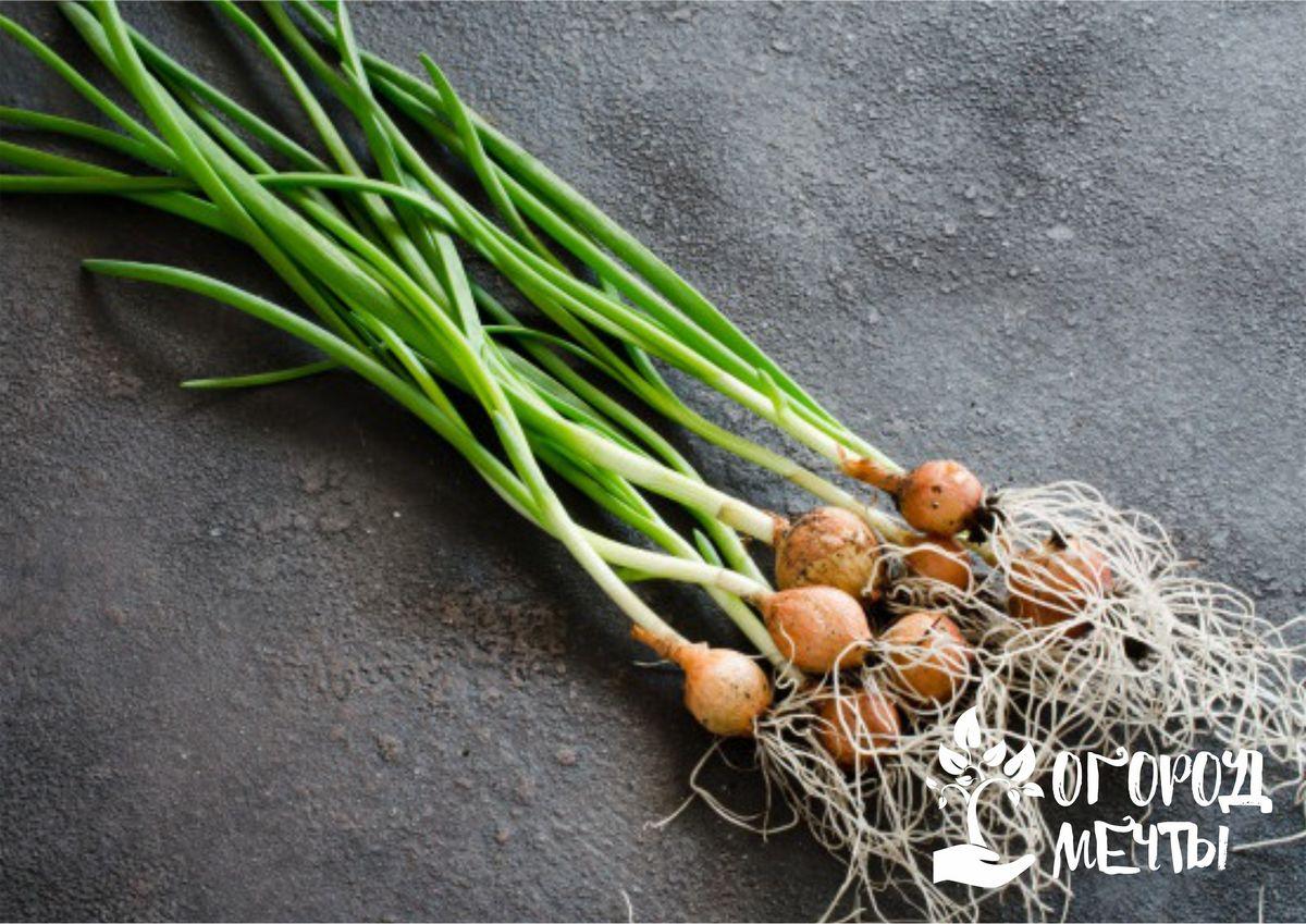 Причины появления гнили на луковицах: семь основных факторов