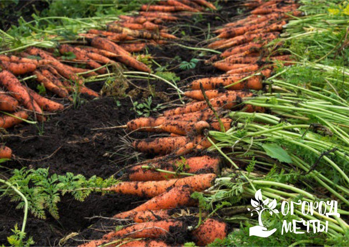 Особенности подкормки морковных грядок в июле