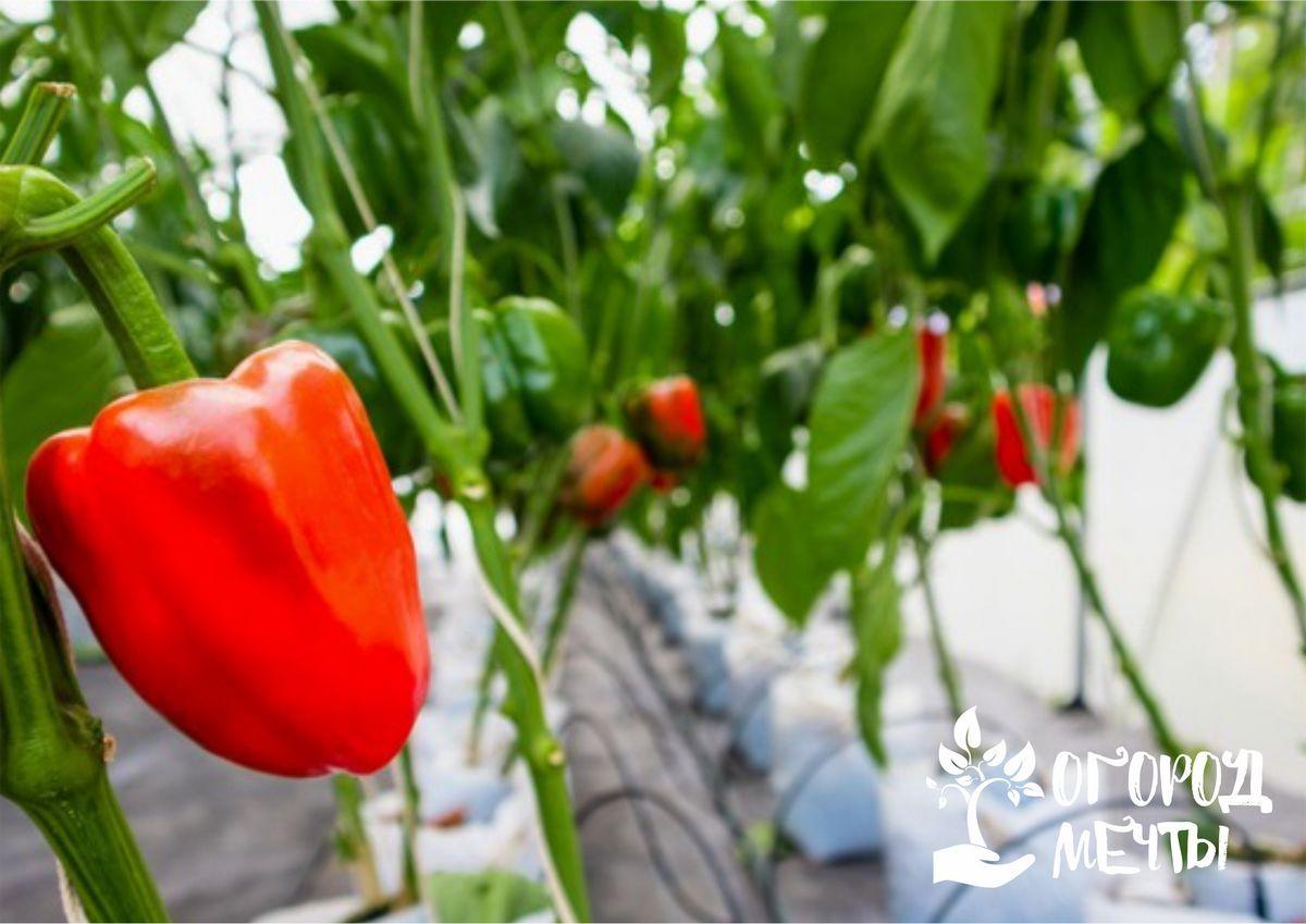 Гниет перец в поликарбонатной теплице: причины и методы спасения урожая