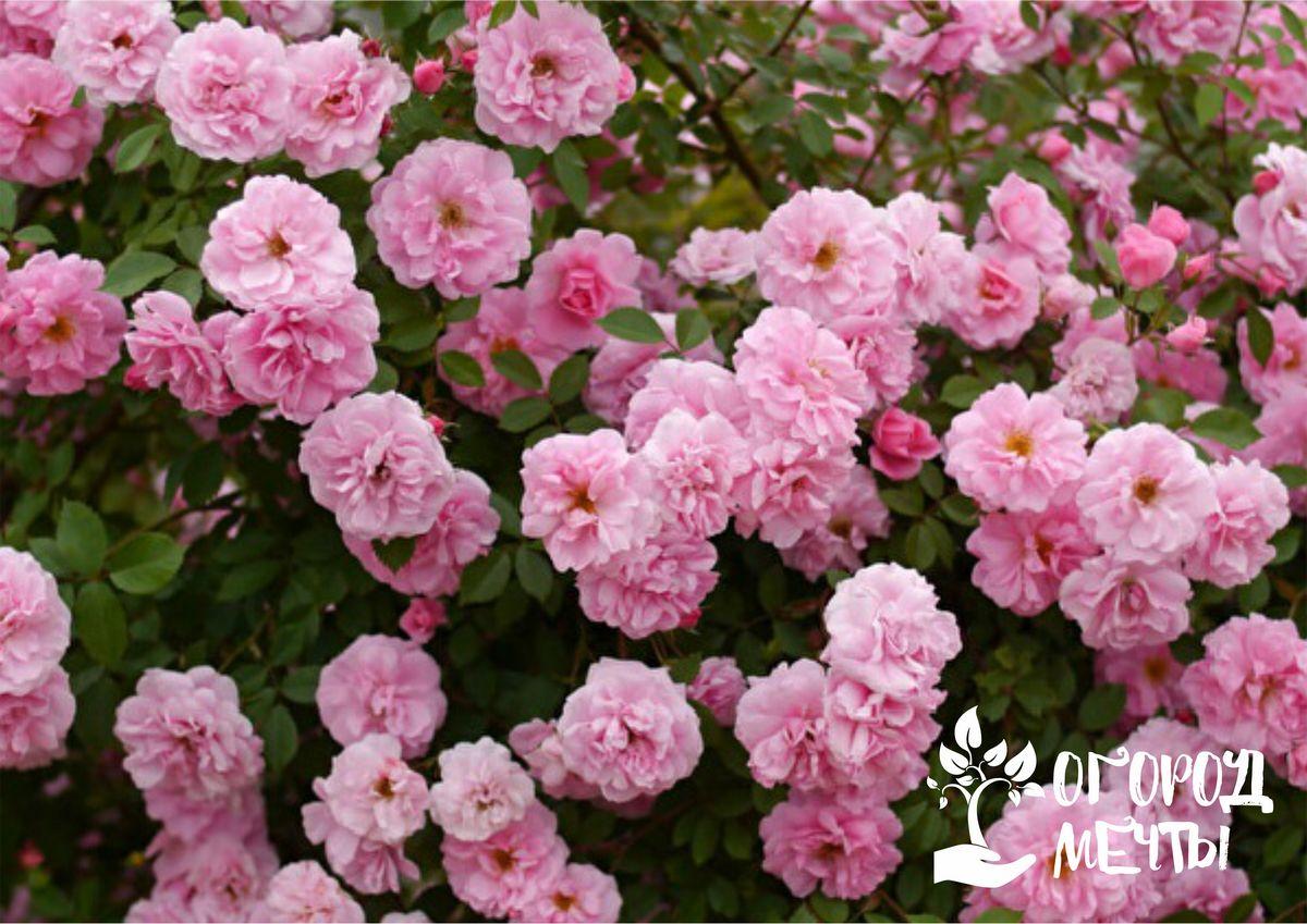 Канадские розы: особенности цветочной культуры и лучшие сорта