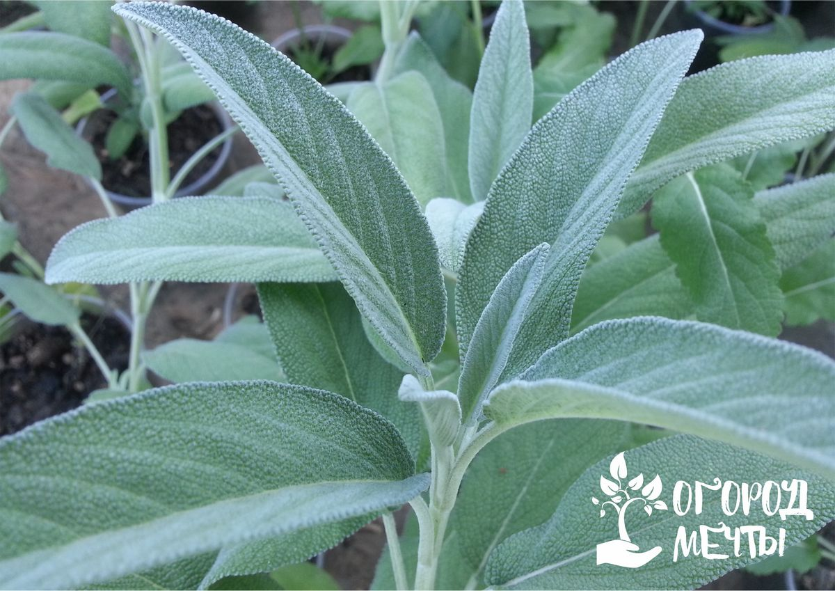 Шалфей: преимущества, выращивание и сбор урожая
