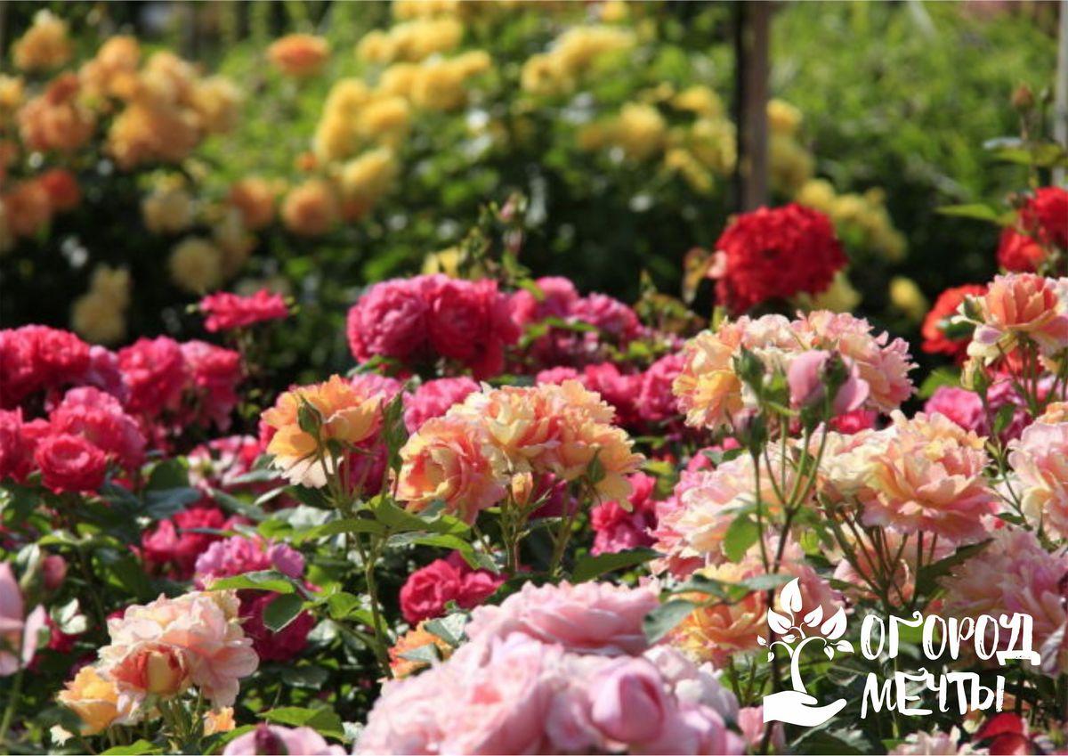Для розария лучше всего подойдут зимостойкие розы с длительным цветением