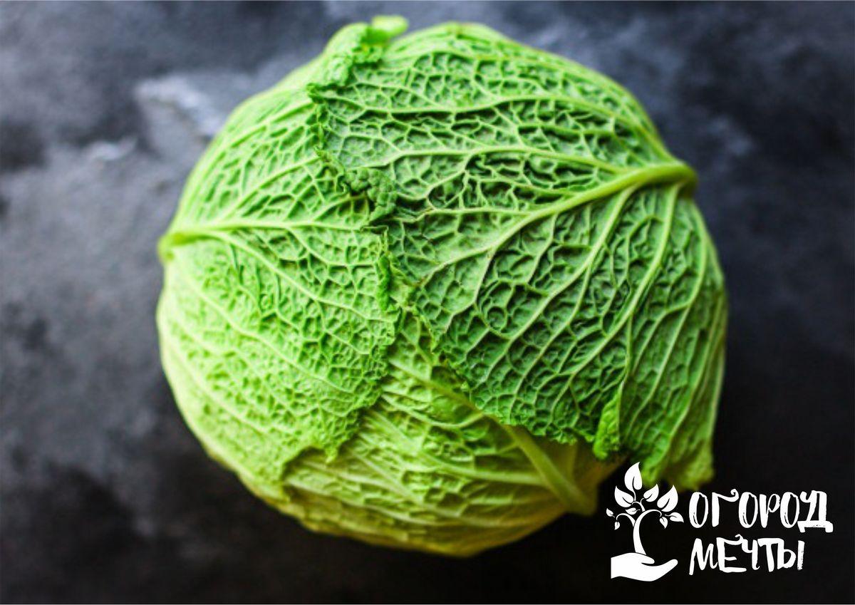 Основы выращивания савойской капусты: основные секреты