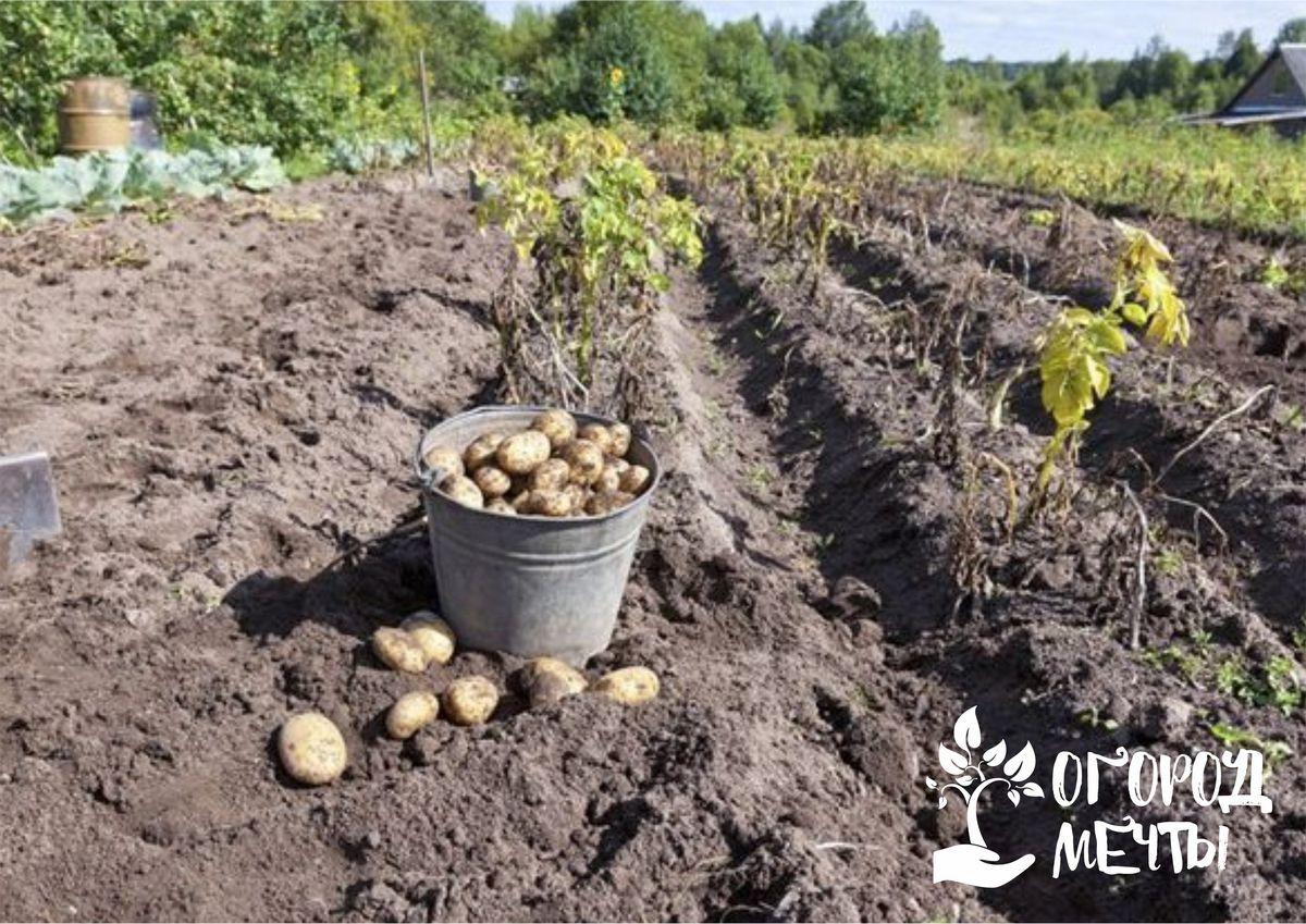 Когда приходит время копать картофель: сроки и способы определения зрелости корнеплодов