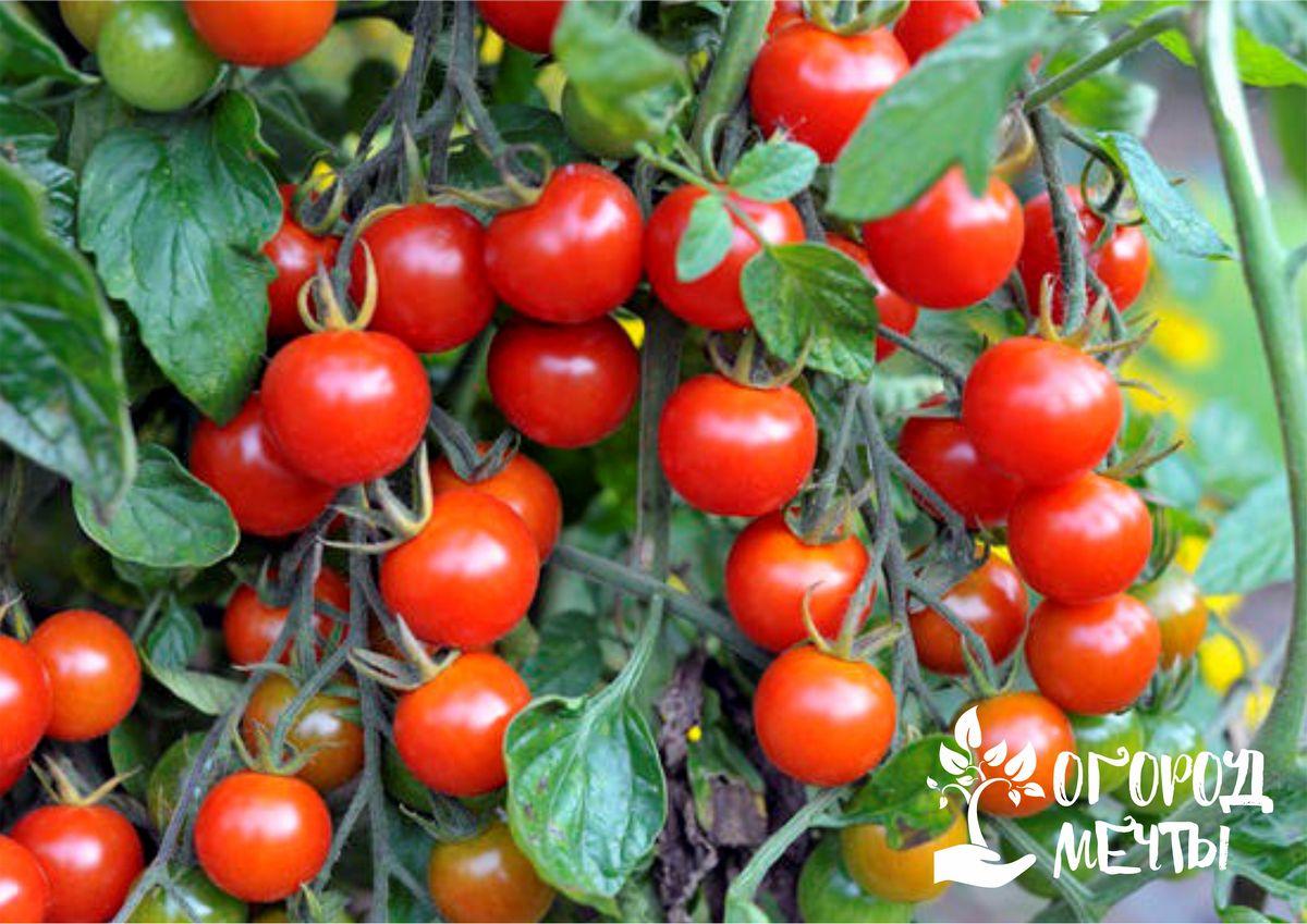 Четырнадцать лучших сортов сладких черри для огородного выращивания