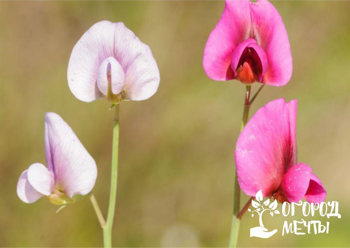 Лучшие сорта душистого горошка с самым эффектным цветением: шесть самых популярных видов