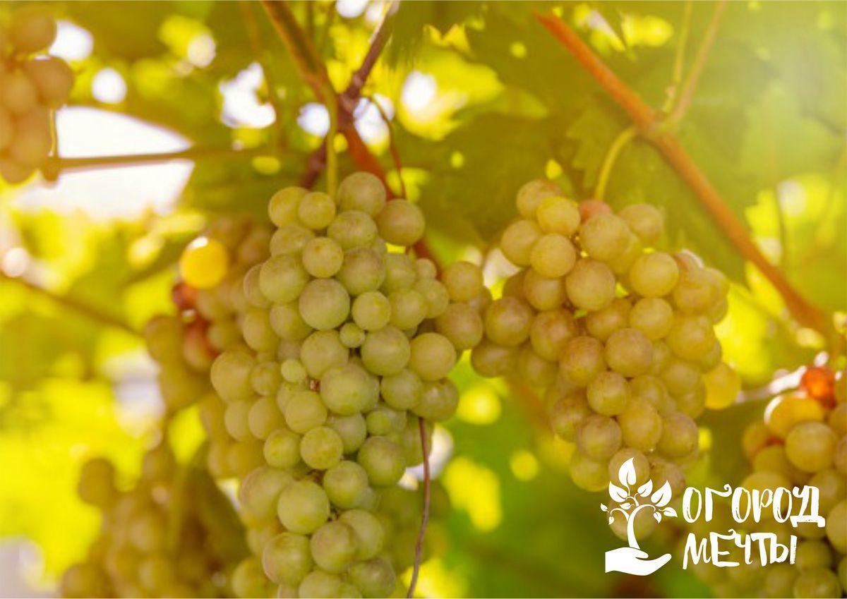 Календарь ухода за виноградниками на июль: важные мероприятия месяца