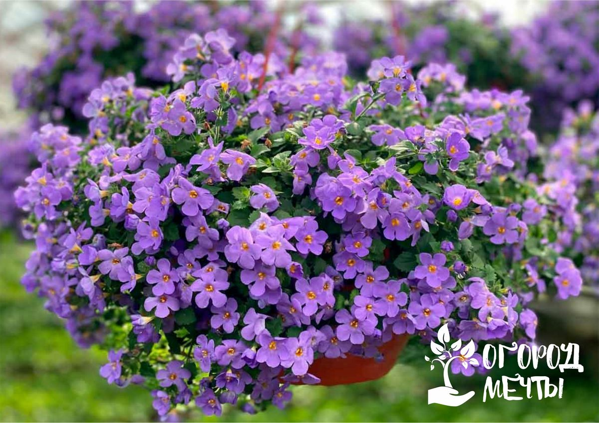 Шикарный обильноцветущий цветок бакопа: основы ухода за растением