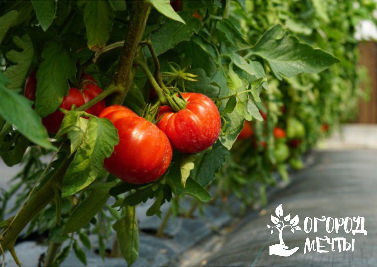 Как ухаживать за кустами помидоров в июле: важные мероприятия месяца