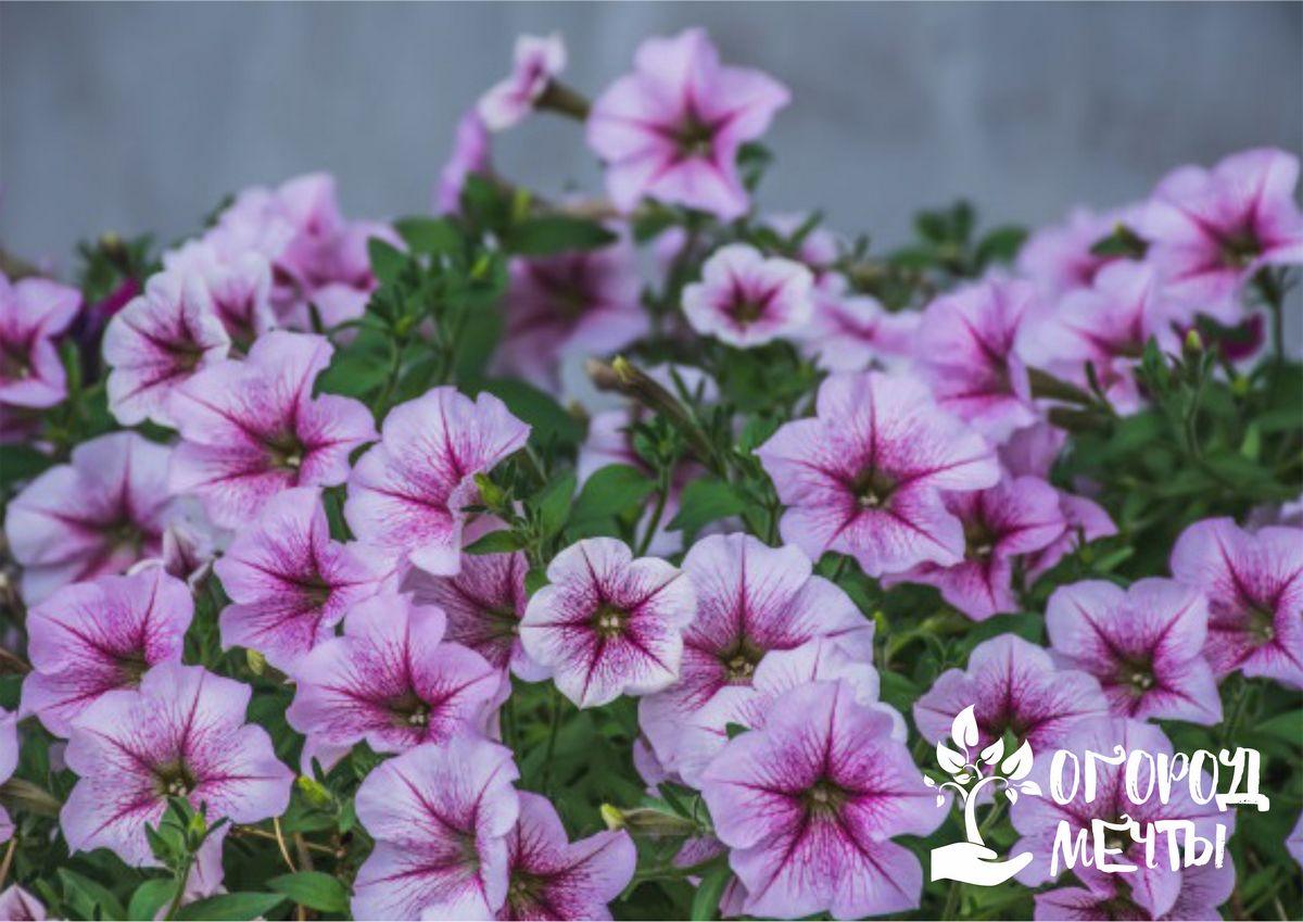 Изысканный цветок калибрахоа: топ-6 самых красивых разновидностей