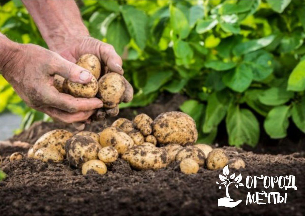 Картофель не плодоносит: основные ошибки в агротехнике