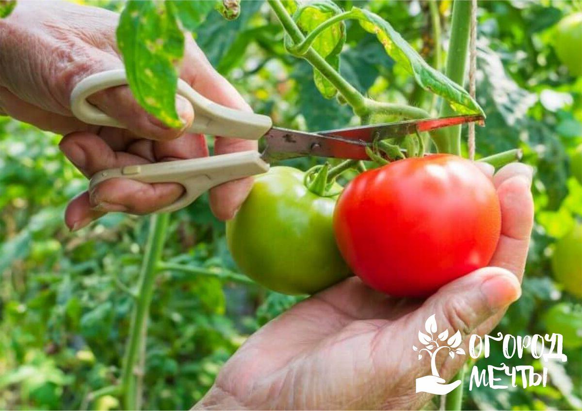 Как ускорить процесс созревания томатов: спасаем урожай при внезапном похолодании