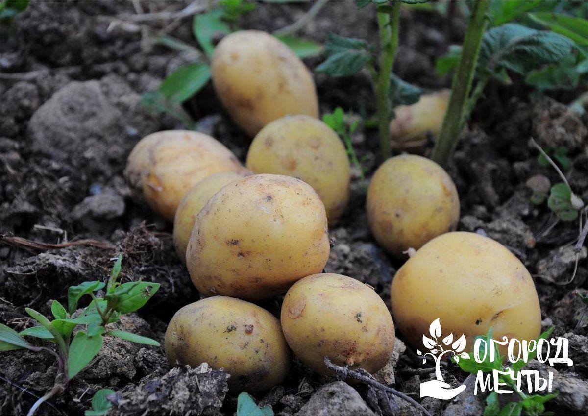 Как определить степень зрелости картофеля