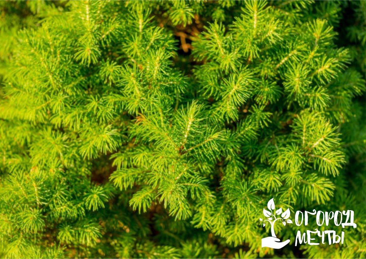 Уход за вечнозелеными хвойными растениями в летний период