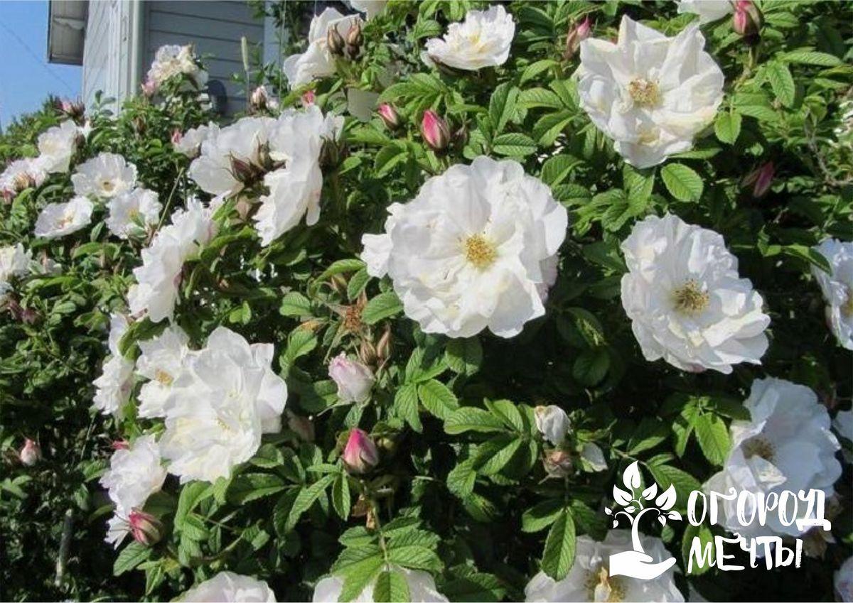 Девять лучших сортов канадских пышноцветущих роз