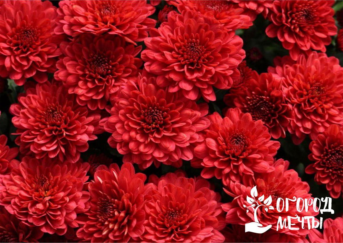 Клумба в красных тонах: лучшие садовые цветы для создания шикарного красного цветника на даче
