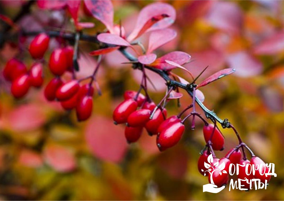 Ваша дача будет самой красивой, если вы посадите эти декоративные кустарники с красными листьями!