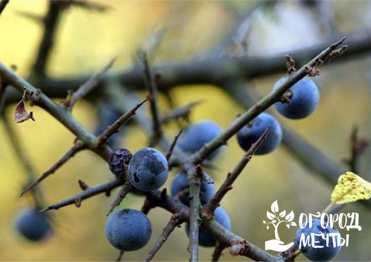 Как вырастить терн на дачном участке: один из самых полезных ягодников в вашем саду