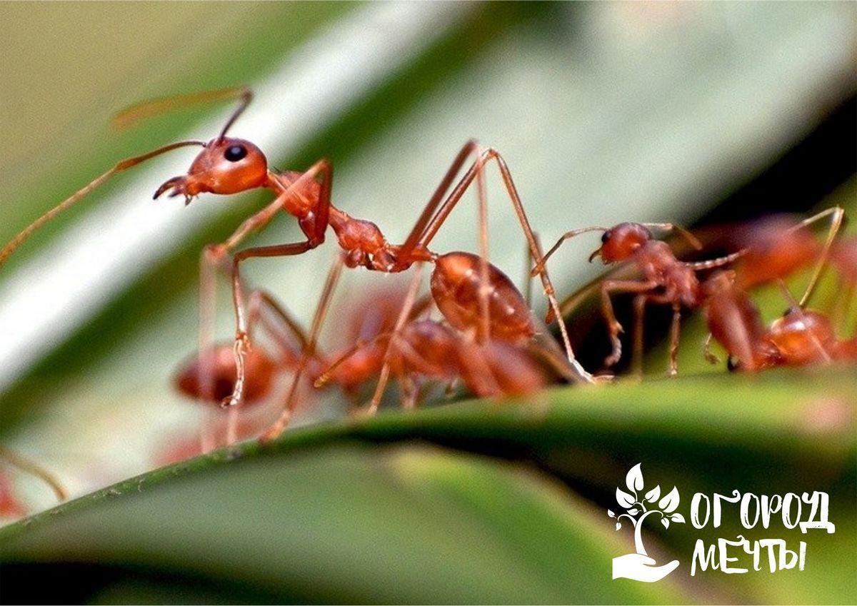 Как прогнать муравьев с огородных гряд и сада: топ-6 натуральных средств