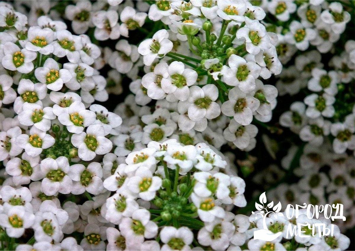 Ваш участок усыпан цветами, если вы посадите на даче шикарный многолетник - алиссум!