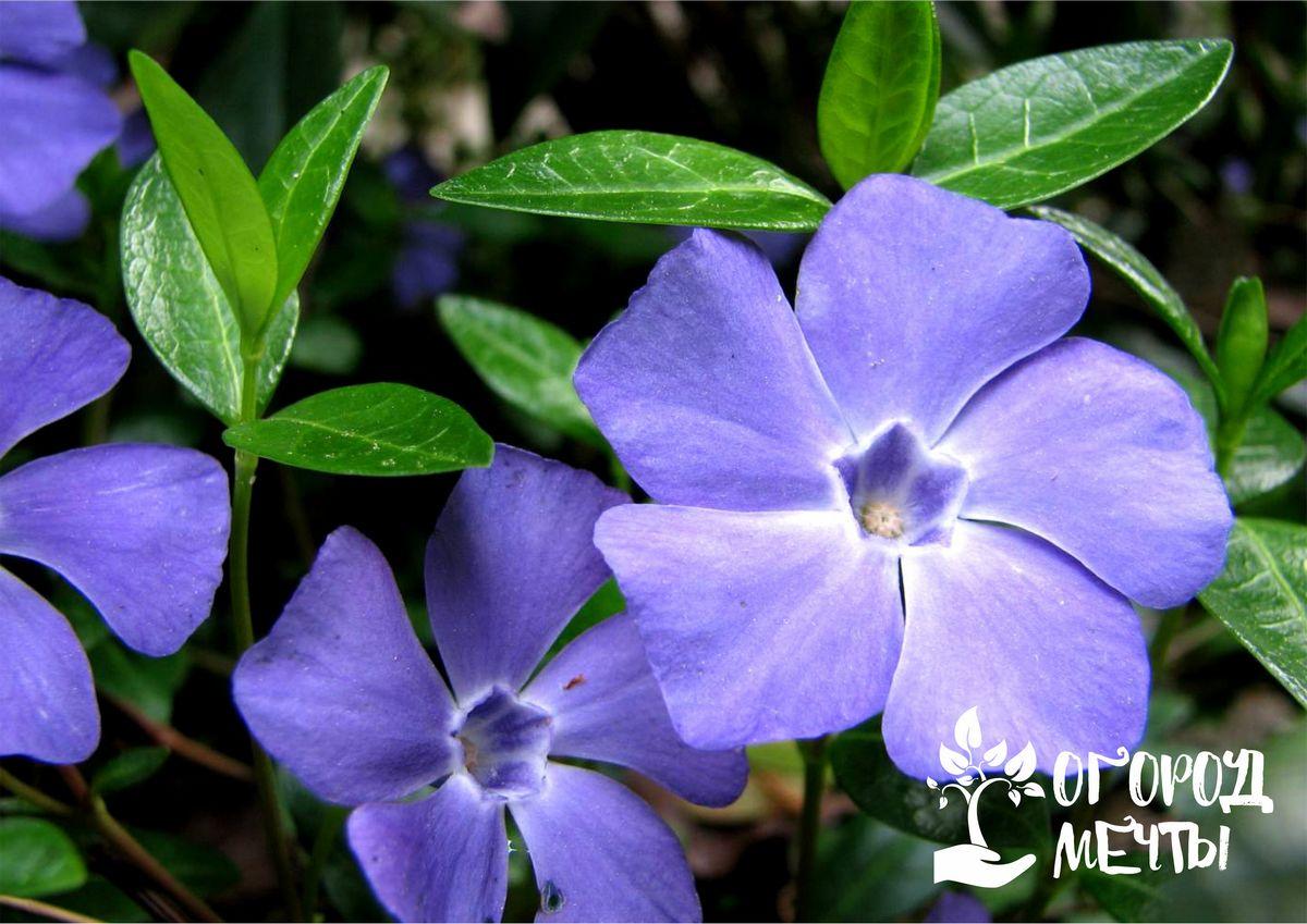 Если вы посадите эти садовые цветы на клумбе, на ней больше никогда не будет сорняков! Пять растений, которые изживут даже самую выносливую траву