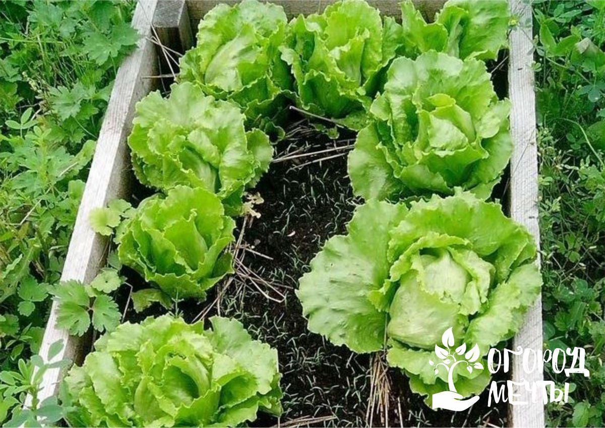 Почему нужно сеять салат под зиму