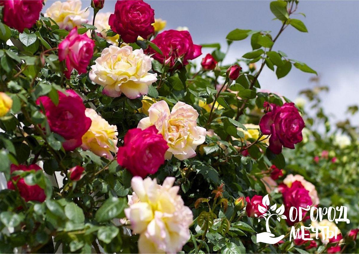 Нюансы посадки роз