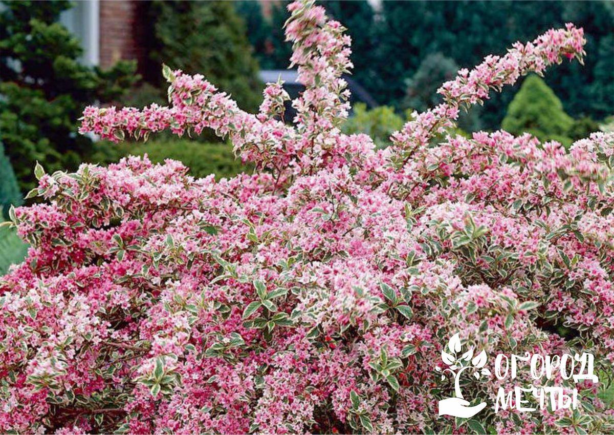 Как сделать сад на даче самым красивым? Посадить осенью эти шикарные кустарники на участке!