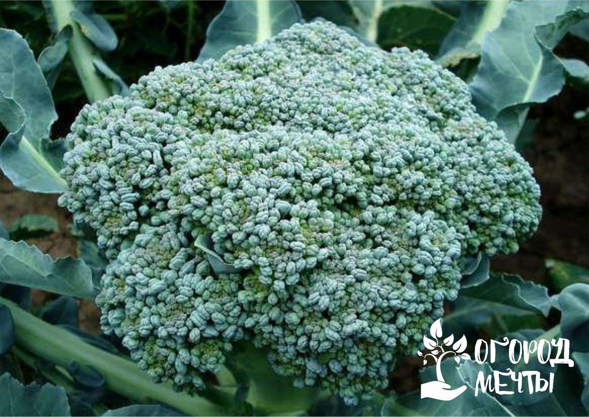Уход за капустой в конце лета: брюссельской, кольраби, белокочанной, цветной и брокколи
