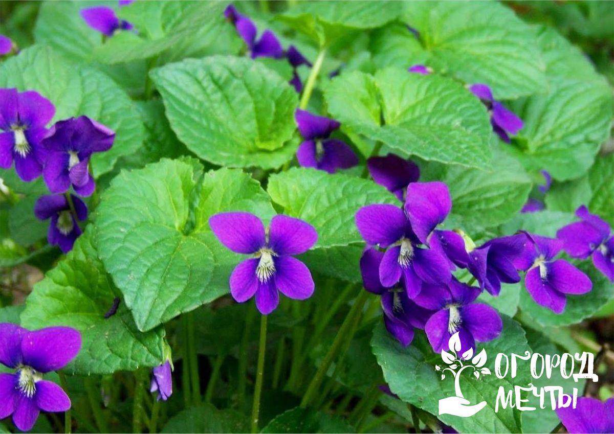 Фиалки - самые неприхотливые садовые цветы для тех, у кого совсем нет времени на уход за клумбой!