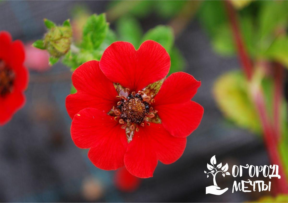 Топ-8 цветочных культур с красными цветками для оформления монохромной клумбы