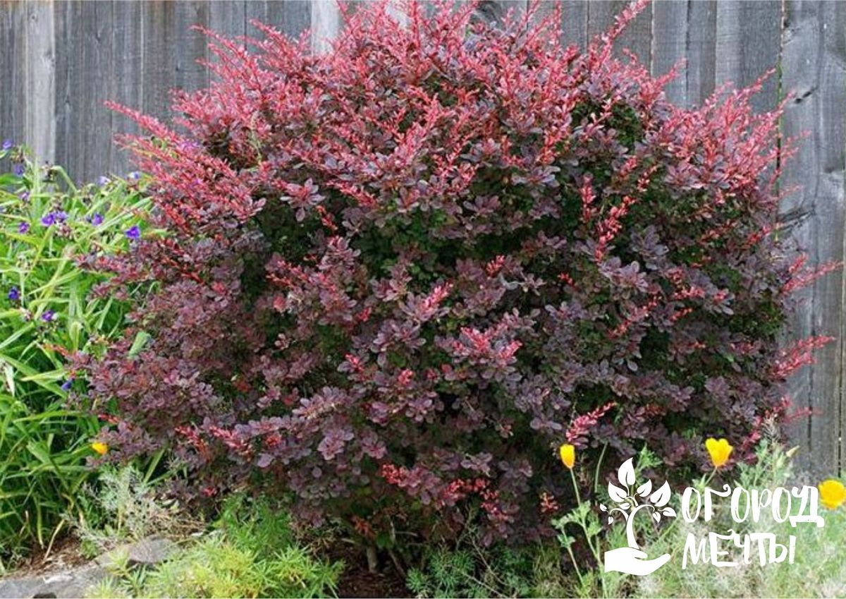 Топ-8 кустарников с красной листвой для украшения сада