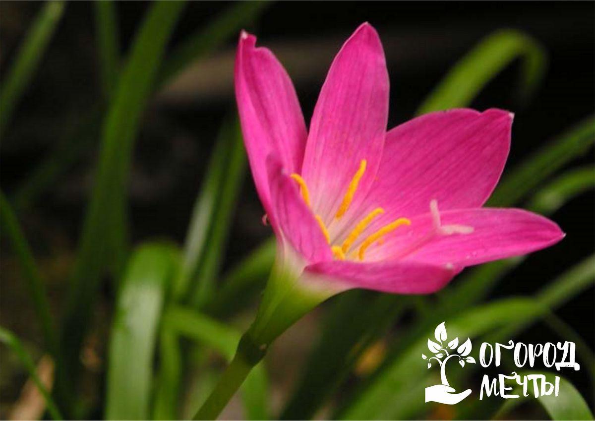 Зефирантес - самый экзотический цветок на вашей клумбе!