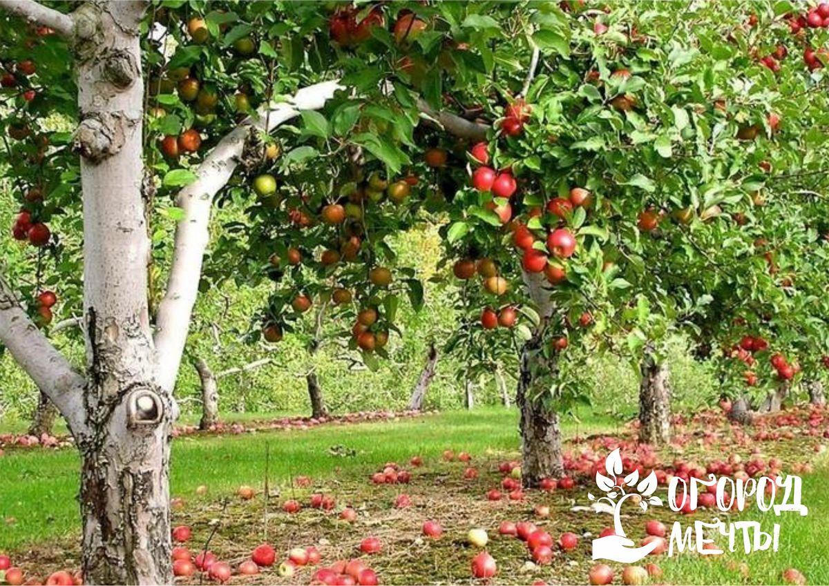 Что делать, если яблоки гниют на ветках дерева? Срочно спасать свой сад!