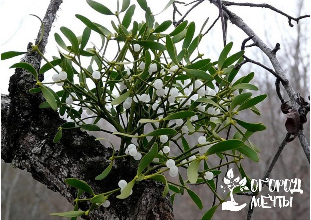 Ваш сад захватила омела? Узнайте, как избавиться от агрессивного паразита на даче!