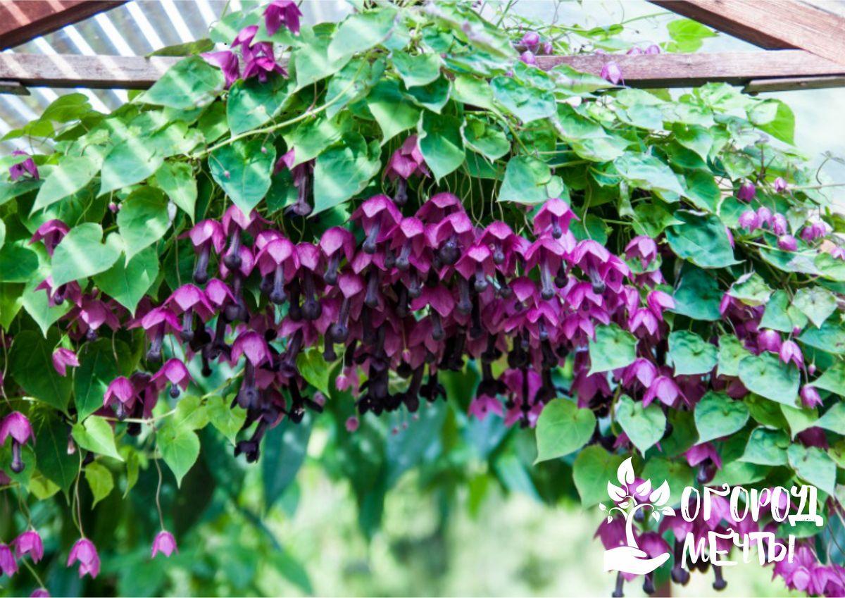 Родохитон - самая красивая экзотическая лиана в ландшафтном дизайне, которая преобразит любую арку!