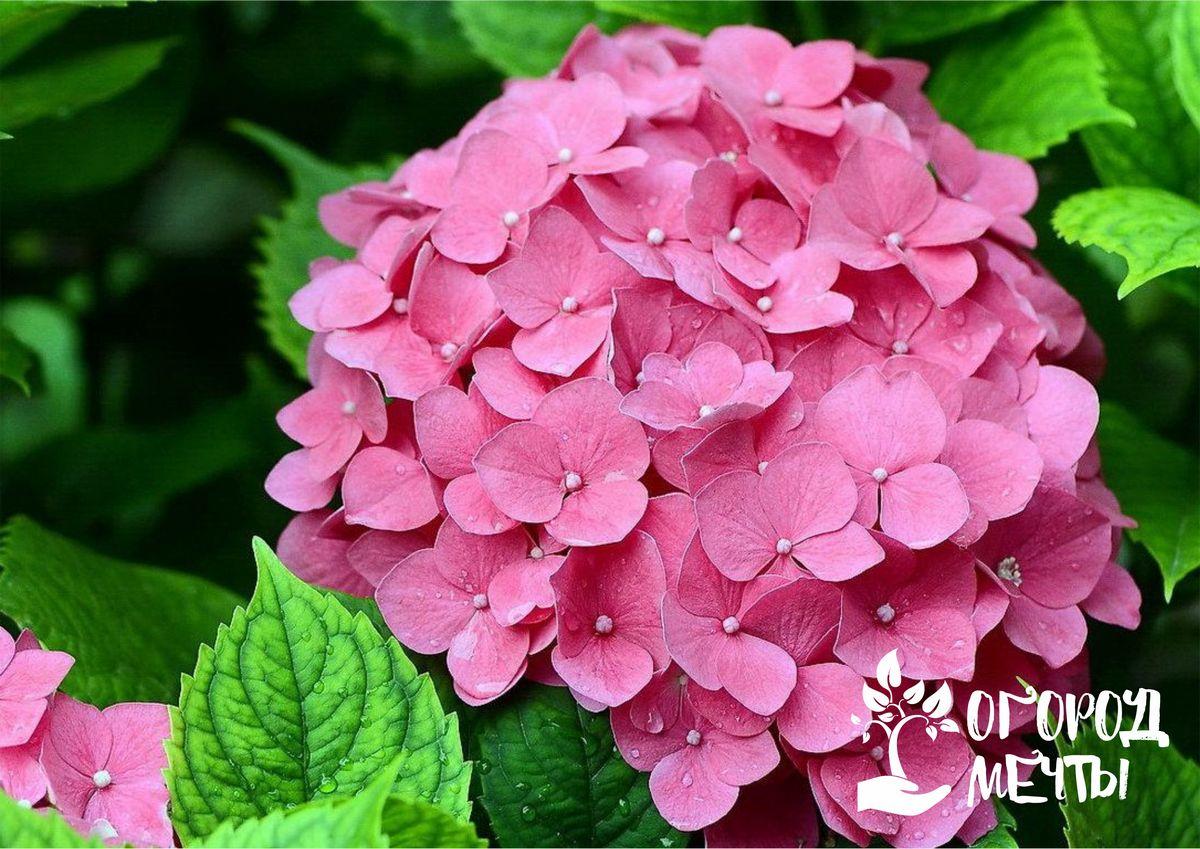 Больше не нужно покупать дорогие саженцы декоративных растений в питомниках! Гортензия - кустарник, который легко можно размножать самостоятельно!