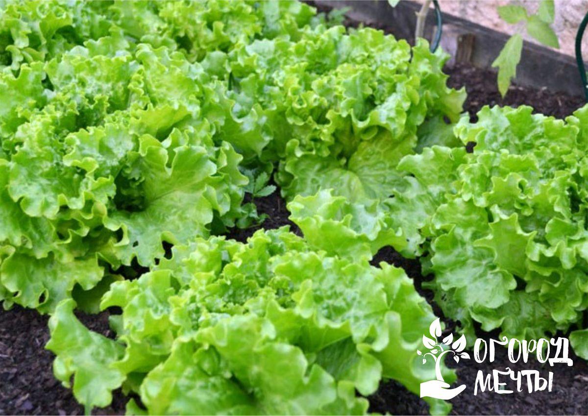 Хотите получить ранний и вкусный салат на грядке? Займитесь посевом салата под зиму этой осенью!