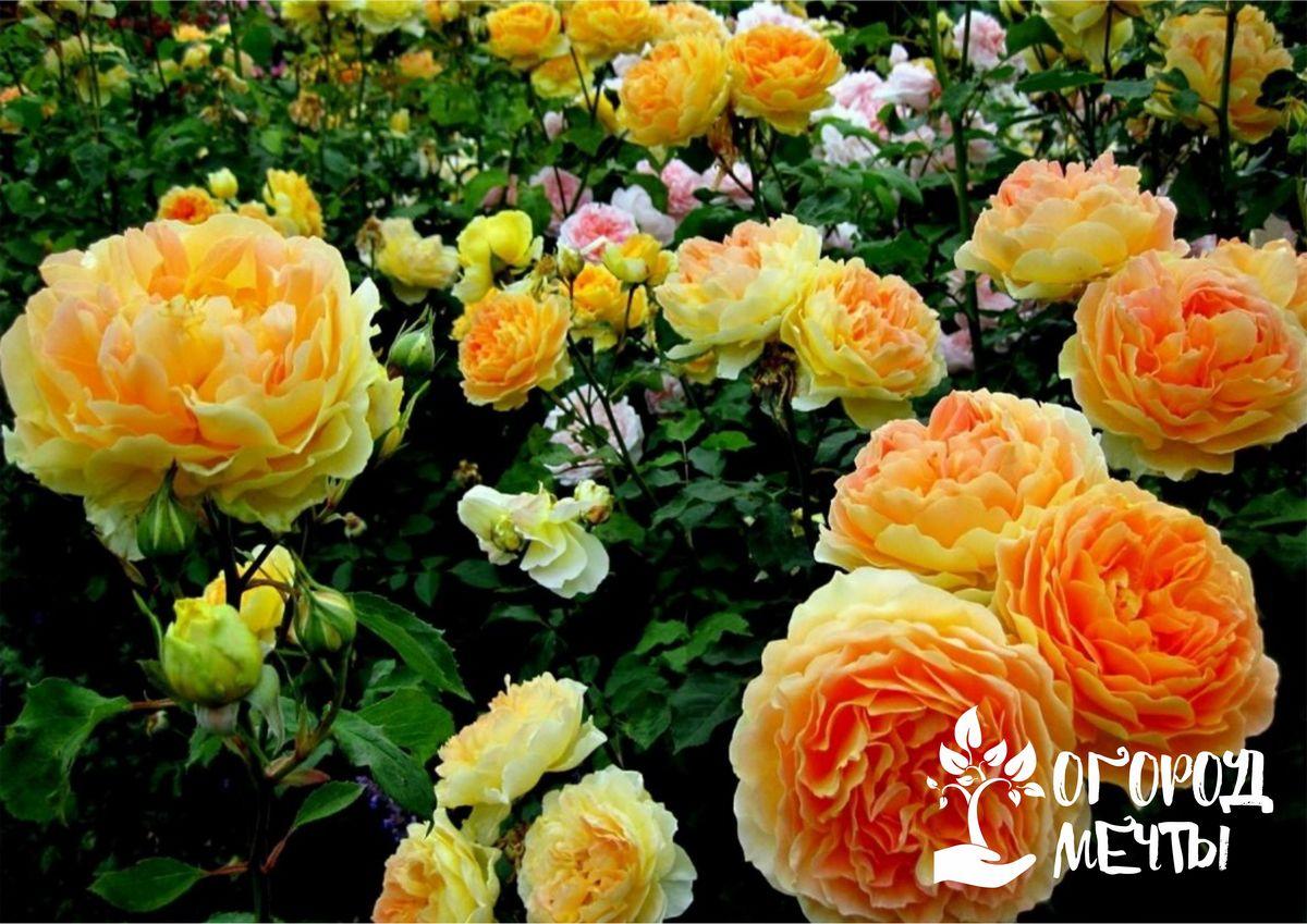 Удалось купить розы по низкой цене осенью? Посадите их на клумбу прямо сейчас! Правила успешной посадки роз осенью