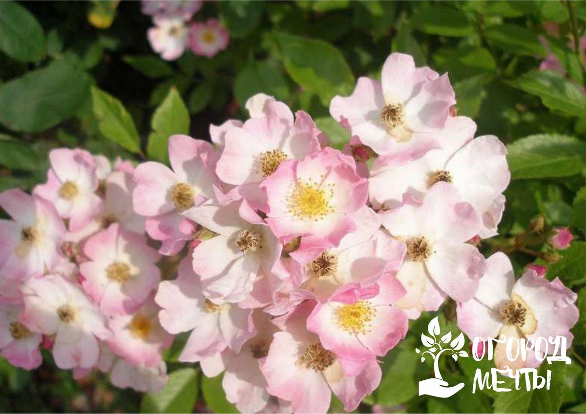Неприхотливые мускусные розы в саду: интересные сорта роз, которые влюбят вас в себя!